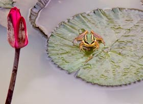 Borneo Frog On Lily Pad
