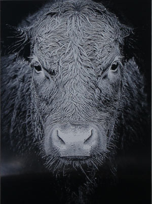 Cow etching in black aluminium