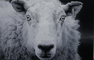 Black and white etching - sheep