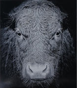 Black and white laser etched cow
