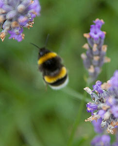 Bumble Bee on Lavender Bush