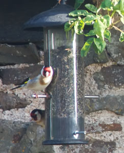 Goldfinch feeding off the niger seeds
